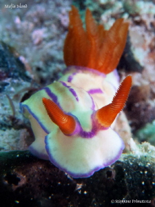 Hypselodoris emmae. by St&#233;phane Primatesta 